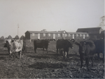 Milk producing cattle on the farm